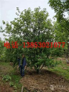 15公分合欢树价格南京报价