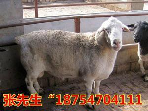肉羊价格现多少钱一斤 黑头杜泊绵羊价格