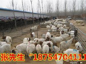 活山羊价格 现在活山羊