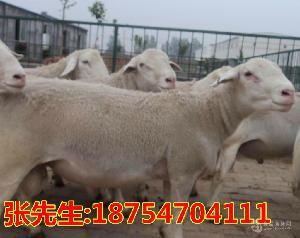 黑头杜泊绵羊种羊价格 黑头杜泊绵羊图片