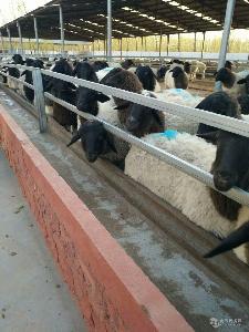 杜泊绵羊种羊价格 杜泊绵羊价格