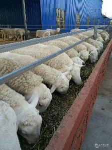 杜泊绵羊哪里有卖的 杜泊绵羊多少钱一斤