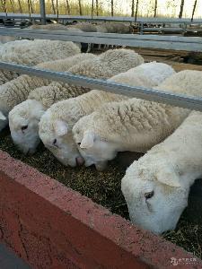 夏洛莱羊种羊图片 纯种杜泊羊价格