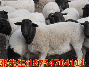 杜泊绵羊价格 黑头杜泊绵羊种羊价格