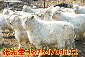 杜泊绵羊价格 黑头杜泊绵羊养殖