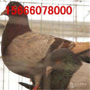 蛋鸽种鸽价格