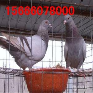 选择保姆鸽好的品种