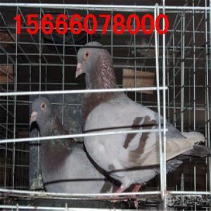 保姆鸽怎么孵化小鸽子