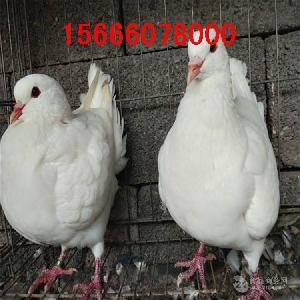 卡奴鸽子种鸽价格
