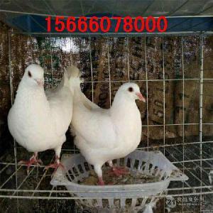 保姆鸽活体出售