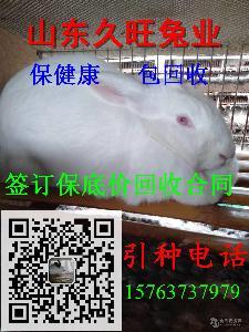 新西兰种兔价格报价