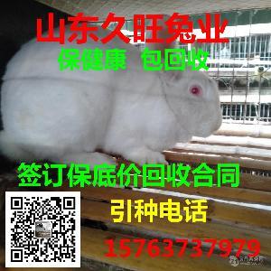新西兰肉食兔报价多少钱一只