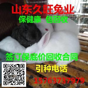 新西兰种兔价格