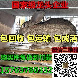 肉兔种兔能长多大几斤重