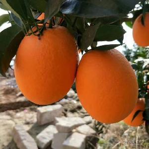 紐荷爾臍橙產地批發/秭歸紐荷爾臍橙代辦