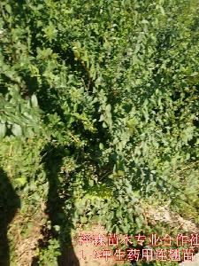 连翘苗一亩地种植多少棵