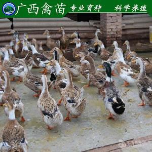 广西黄麻鸭 鸭苗 广西杂交麻鸭