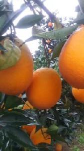 纽何尔脐橙批发价格
