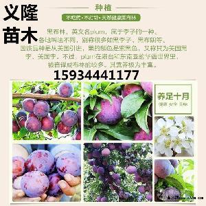 6公分李子樹=7公分李子樹=8公分李子樹