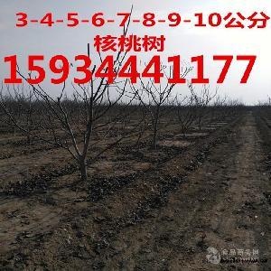8公分核桃樹-10公分-12公分核桃樹
