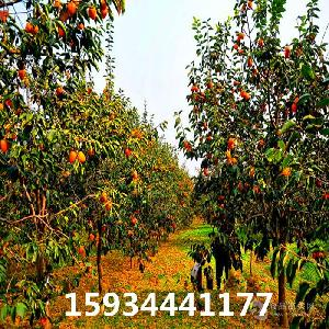 3公分柿子樹 4公分柿子樹 5公分柿子樹