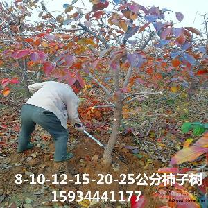 5公分柿子樹=5公分柿子樹多少錢一棵