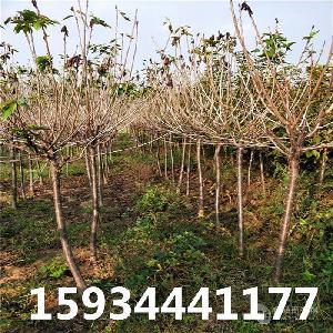 6公分櫻桃樹=6公分櫻桃樹多少錢一棵