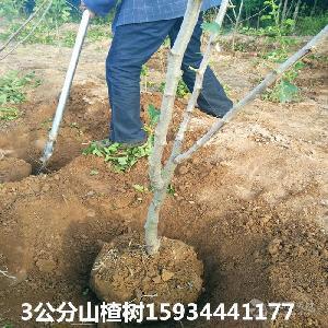 3公分山楂樹++3公分山楂樹