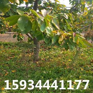 10公分櫻桃樹-10公分占地櫻桃樹-10公分櫻桃樹