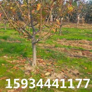 5公分樱桃树++5公分樱桃树