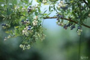 �{莓苗,�{美1�苗木,�{莓�洌��{美1�