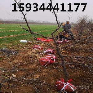 5公分棗樹=5公分棗樹多少錢一棵