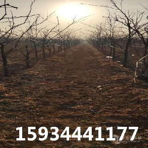 10公分-12公分-15公分枣树