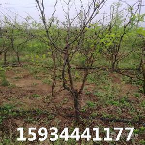 8公分棗樹價格++8公分棗樹價格