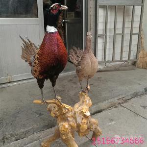 什么地方有山鸡标本出售 蓝孔雀标本的价格