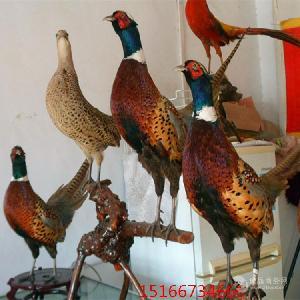 哪里有卖七彩山鸡标本的