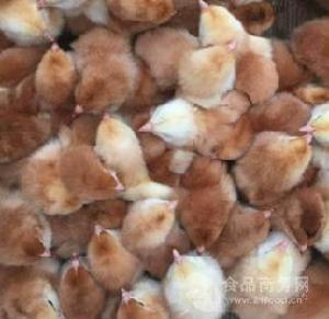 遂宁快大黄鸡苗批发 九斤黄鸡苗养殖 散养鸡养殖技术