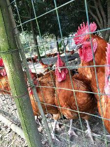 自贡野鸡苗养殖技术 珍珠鸡苗批发 珍禽养殖