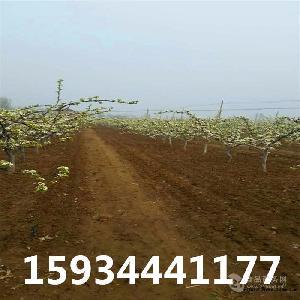 12公分梨樹=12公分梨樹多少錢一棵