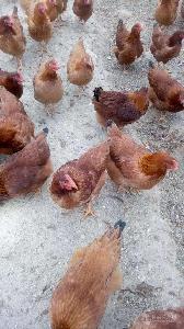 内江哪里有养鸡技术培训 鸡苗需要做几次防疫 青脚土鸡苗批发