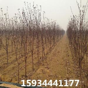 3公分蘋果樹=3公分蘋果樹多少錢一棵