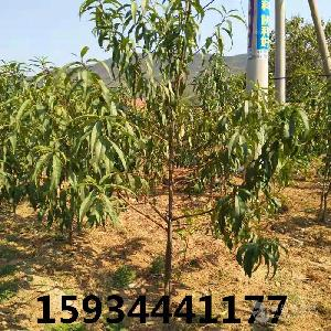 5公分桃樹++5公分桃樹價格