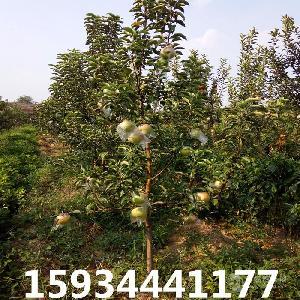 出售8公分蘋果樹=10公分蘋果樹