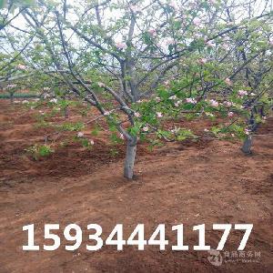 8公分苹果树-10公分苹果树-12公分苹果树