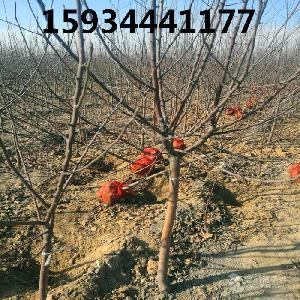 4公分苹果树==4公分苹果树多少钱一棵