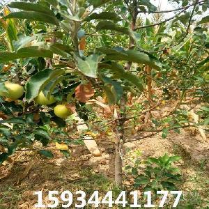 3公分蘋果樹 3公分蘋果樹基地 3公分蘋果樹批發