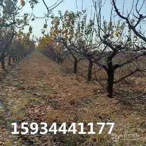 15公分杏樹-15公分杏樹多少錢一棵