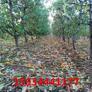 6公分桃樹-6公分桃樹多少錢一棵