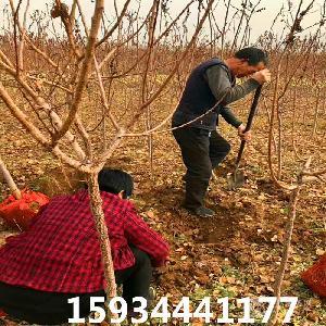 5公分杏樹=5公分杏樹多少錢一棵