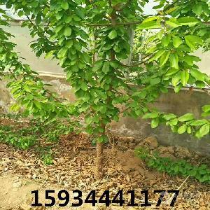 3公分杏树-4公分杏树-5公分杏树价格